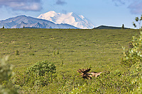 Bull Moose In The Tundra Of Denali National Park, Interior, Alaska. Mt. Denali, North America's Largest Peak On The Distant Horizon.