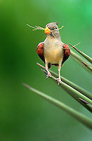 573900042 a wild female pyrrhuloxia songbird cardinalis sinatus perches on an agave plant spine with nestiing material in her beak on a private ranch in the rio grande valley of south texas