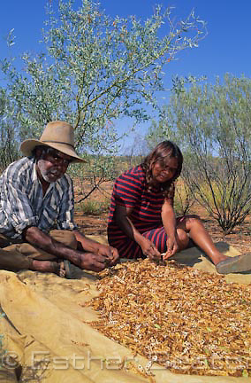 Aboriginal man and woman gathering seed pods from Gundabluey Wattle (Acacia victoriae) for bush tucker industry. Alice Springs, Northern Territory