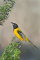 561850044 a wild audubon's oriole icterus graduacauda perches on a plant stem on santa clara ranch hidalgo county rio grande valley texas united states
