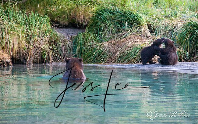 Alaska Brown Bear, Coastal Grizzly Cubs playing,grizzly, Grizzly Bear or brown bear alaska Alaska Brown bears also known as Costal Grizzlies or grizzly bears