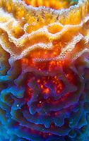 Azure vase sponge (callyspongia plicifera); Roatan, Honduras.