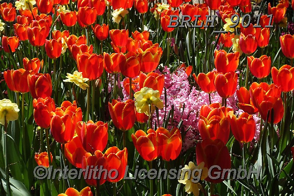 Luiz, FLOWERS, BLUMEN, FLORES, photos+++++,BRLH9011,#f#, EVERYDAY ,tulips ,allover