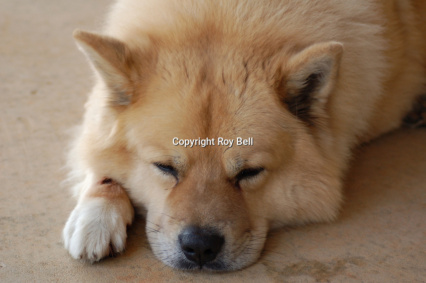 Teddy, a six year old male Chowski (half Chow half Husky) naps on the back porch.