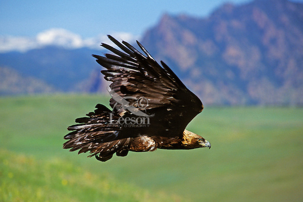 Golden Eagle (Aquila chrysaetos) flying out on the prairie just east of the Rocky Mountain Front. Western U.S.