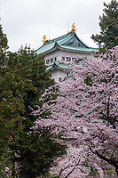 Japan, Nagoya. Nagoya Castle with cherry blossoms.