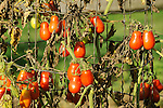 Italian tomatoes on vines in September.