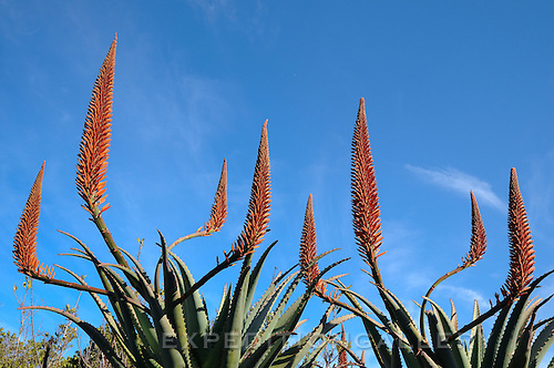 Aloe flowers (Aloe sp.), Kirstenbosch National Botanical Garden, Cape Town, South Africa.