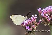 03061-00315 Cabbage White (Pieris rapae) on Brazilian Verbena ( Verbena bonariensis) Marion Co. IL