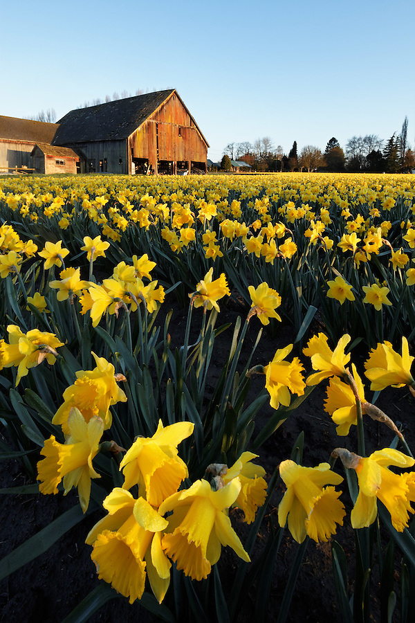 Daffodils blooming on a Skagit Valley farm, Skagit County, Washington, USA, barn