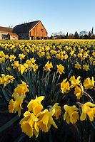 Daffodils blooming on a Skagit Valley farm, Skagit County, Washington, USA, barn