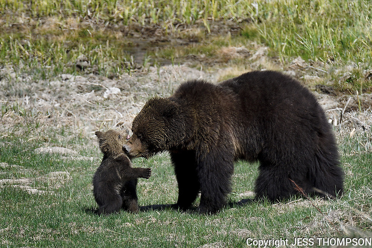 Tender moment with Grizzly Mom and Cub, Yellowstone