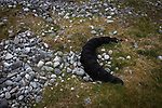 A partially buried tractor tyre on the the Inner Hebridean island of Colonsay on Scotland's west coast.  The island is in the council area of Argyll and Bute and has an area of 4,074 hectares (15.7 sq mi). Aligned on a south-west to north-east axis, it measures 8 miles (13 km) in length and reaches 3 miles (4.8 km) at its widest point, in 2019 it had a permanent population of 136 adults and children.