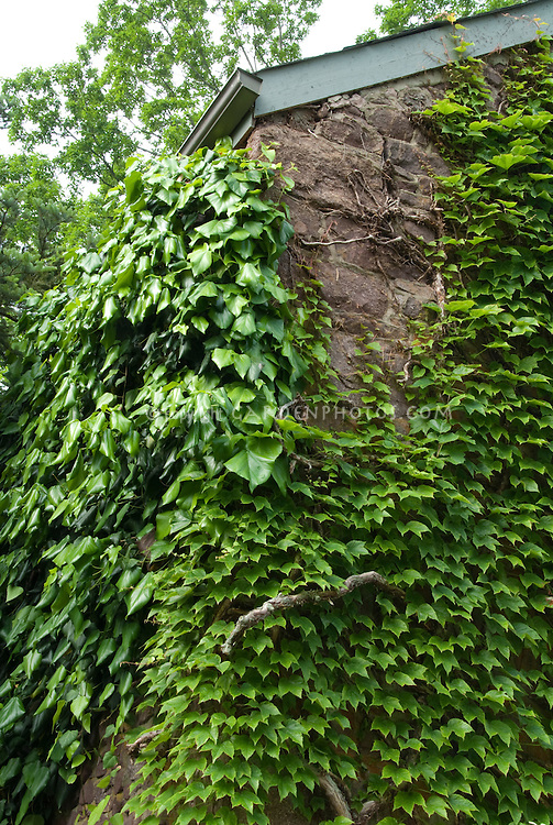 Parthenocissus tricuspidata & Hedera climbing a house wall