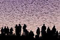 Starling (Sturnus vulgaris) murmuration and observers. Poole Harbour, Dorset, UK.