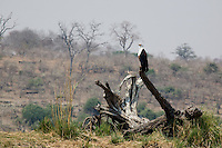 African Fish Eagle,Haliaeetus vocifer, Chobe River, Chobe National Park, Botswana, Africa