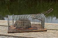 Wanderratte mit Lebendfalle gefangen, Wander-Ratte, Ratte, Rattus norvegicus, Common Rat, Rat surmulot