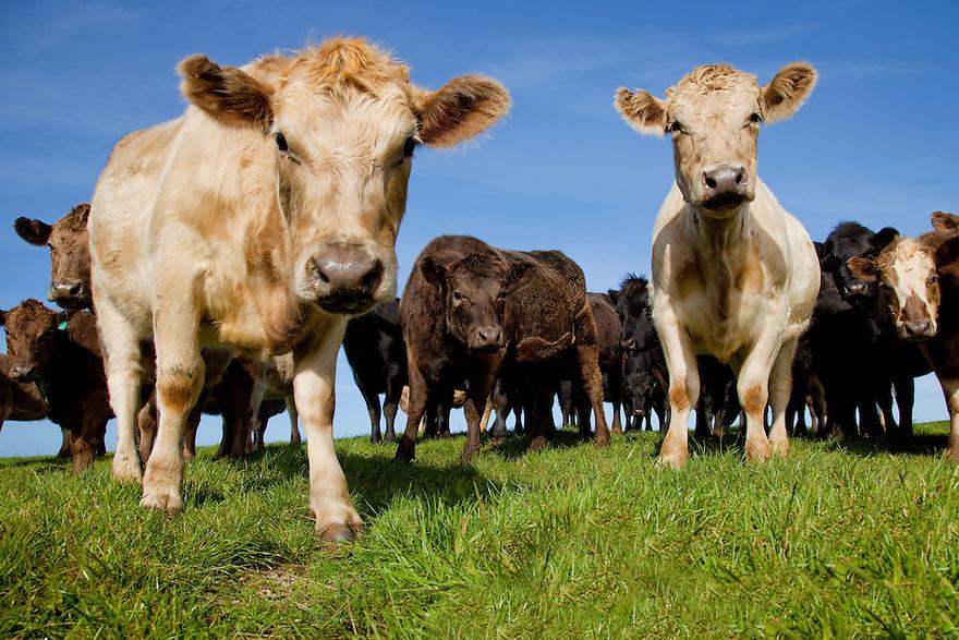 Cows on green grass.Tasmania. Australia.