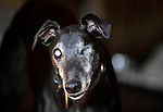 Blind and one eye and no eye in a empty socket, this blind greyhound is lovingly cared for by AManda of HUG near Beaufort about 10 miles from Killarney..Picture by Don MacMonagle