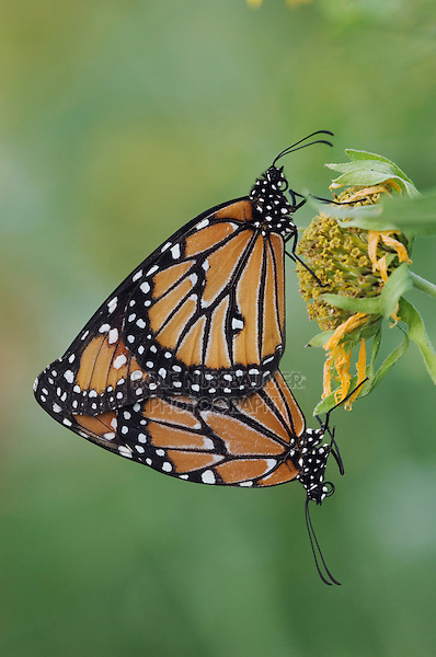 Queen, Danaus gilippus, pair mating on Golden Crownbeard (Verbesina encelioides), Willacy County, Rio Grande Valley, Texas, USA, June 2006