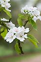 Blossom of Le Conte pear (Pyrus lecontei), early April.