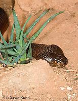 0505-1103  Red Spitting Cobra (African Spitting Cobra), Can Spray Venom, Naja pallida  © David Kuhn/Dwight Kuhn Photography