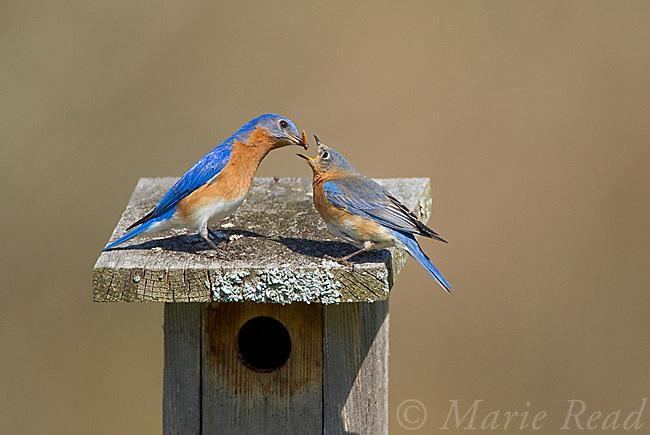 Eastern Bluebirds (Sialia sialis), male feeding female on top of their nestbox, New York, USA