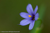 Blue-eyed Grass flower, Great Smoky Mountains National Park, Tennessee