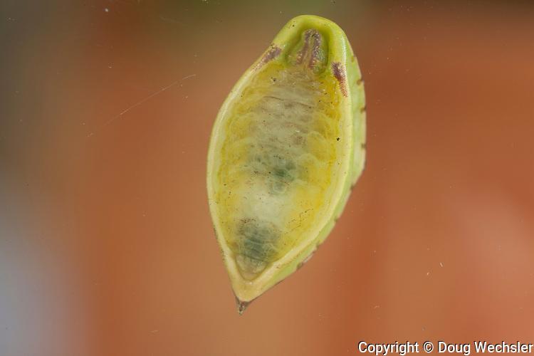 Skiff Moth Caterpillar; Prolimacodes badia; Underside of caterpillar on glass; PA, Philadelphia, Morris Arboretum