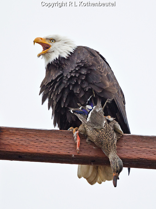 Adult bald eagle perched on a beam with a recently captured mallard hen clutched in its talons.<br />