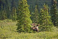 Bull moose feeds in the tundra and taiga, Denali National Park, Interior, Alaska
