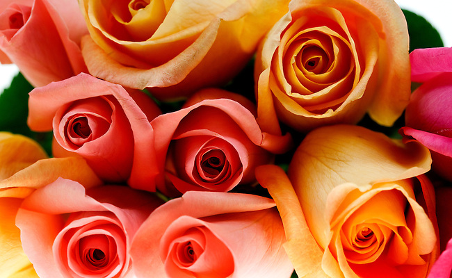 close up, macro of a pink and yellow roses