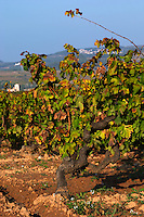 Old vines. Mas Comtal, Avinyonet, Penedes, Catalonia, Spain
