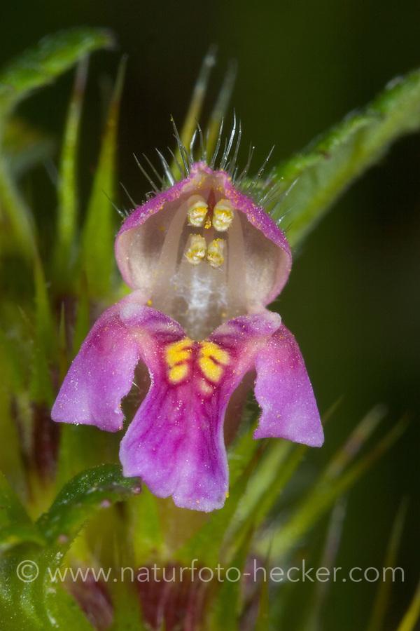Gewöhnlicher Hohlzahn, Stechender Hohlzahn, Stacheliger Hohlzahn, Hanfnessel, Galeopsis tetrahit, Common Hemp-nettle, Common Hemp Nettle