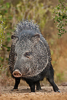 650520160 a wild javelina or collared peccary dicolytes tajacu on beto gutierrez ranch hidalgo county texas united states