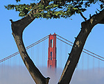 The Golden Gate Bridge framed by a tree as seen by the Saint Francisco Yacht Club, San Francisco.