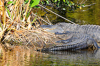 Two alligators sharing a small island located at Green Cay Wetlands, Boynton Beach, Florida.