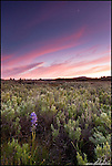 Sunset and moonset wildflowers, Martis Valley, Truckee