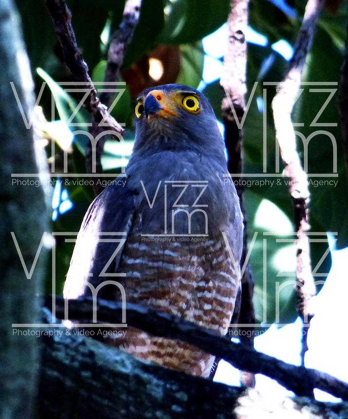 CALI - COLOMBIA, 30-06-2016: Aguililla, especie de ave presente en el norte de Cali. / Aguililla, bird species present in north of Cali Photo: VizzorImage / Dario Ramirez / Cont.