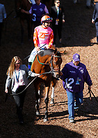 DEL MAR, CA - NOVEMBER 04: Caledonia Road #12, ridden by Mike Smith, walks in the paddock prior to the 14 Hands Winery Breeders' Cup race on Day 2 of the 2017 Breeders' Cup World Championships at Del Mar Racing Club on November 4, 2017 in Del Mar, California. (Photo by Kazushi Ishida/Eclipse Sportswire/Breeders Cup)