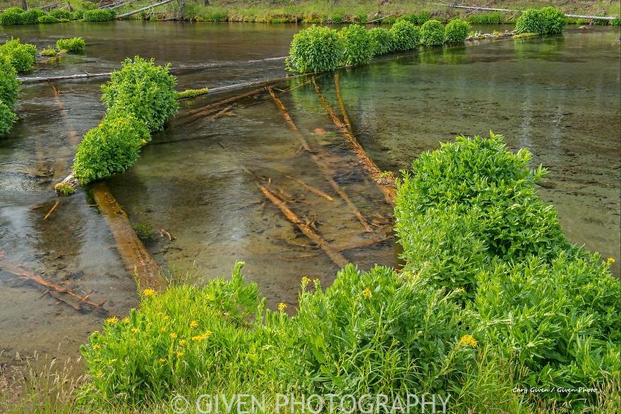 Plants on fallen logs in the Fall River, Oregon