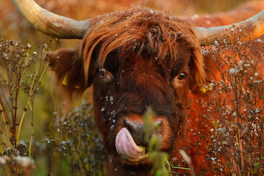 The mule of a highland cattle cow, Tauros/Aurochs breeding site run by The Taurus Foundation, Keent Nature Reserve, The Netherlands