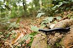 African Giant Black Millipede (Archispirostreptus gigas) in lowland rainforest, Lope National Park, Gabon