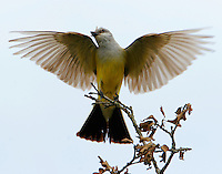 Adult western kingbird arriving with insect to feed babies