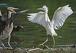 A juvenile black crowned night heron (left) (Nycticorax nycticorax) and a young snowy egret (Egretta thula) get a little testy with each other in the close quarters of a nesting area on a small island in Ferril Lake in Denver City Park, Colorado