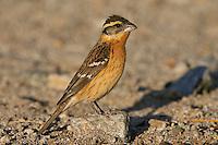 Black-headed Grosbeak - Pheucticus melanocephalus -Adult female