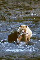 spirit bear, kermode, black bear, Ursus americanus, mother with cub catching fish in river, rainforest area of the central British Columbia coast, Canada