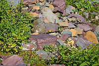 White-tailed ptarmigans (Lagopus leucurus), Glacier National Park, Montana.  Sept.