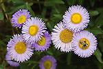 Aster flowers, Grand Mesa, Colorado