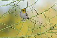 The Verdin ( Auriparus flaviceps), a diminutive songbird of the Sonoran Desert, will feed on oranges and other fruits in backyard gardens